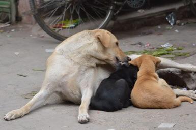 インド、ニューデリーの犬