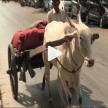 インドの牛渋滞